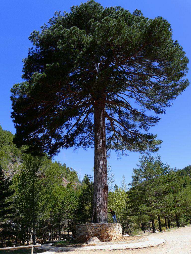 Pino del Escobón de Linares de Mora en Teruel